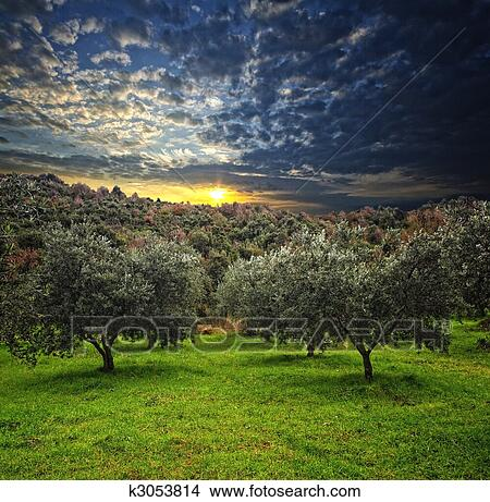 Archivio fotografico olivo fondo k3053814 cerca for Acquisto piante olivo