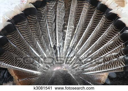 Turkey Tail Feathers Clip Art Tail Feathers of a Tom Turkey