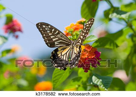 Stock foto buntes swallowtail schmetterling fliegen for Fliegen in blumen