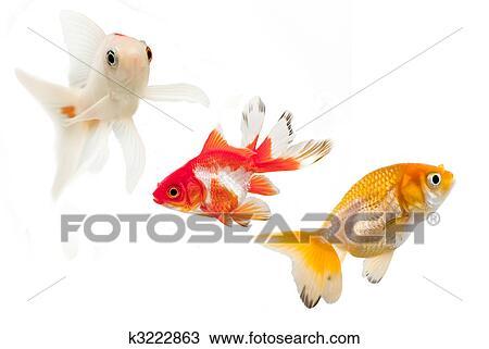 Stock foto drei goldfisch rassen k3222863 suche for Goldfisch rassen