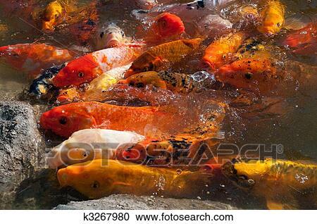 Archivio fotografico pesce koi k3267980 cerca archivi for Carpa giapponese prezzo