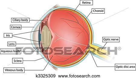 剪贴画 眼睛, 解剖学
