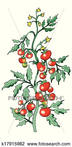 Clipart of Bush tomato on white background k17915982 - Search Clip ...
