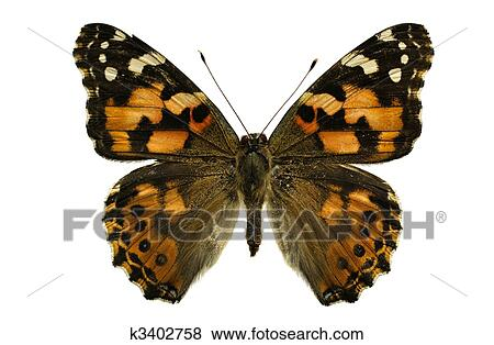 Pictures of Painted Lady butterfly k3402758 - Search Stock ...