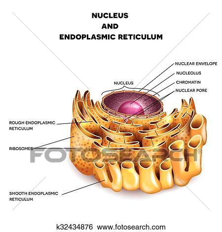 Clip art of cell nucleus and endoplasmic reticulum k32434876 cell nucleus and endoplasmic reticulum detailed anatomy with description ccuart Gallery
