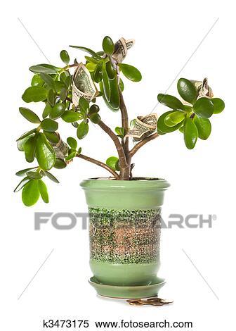 Banque d 39 image potted maison plante crassula for Plante feng shui
