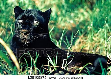 Stock image of black panther k25105875 search stock for Black panther mural