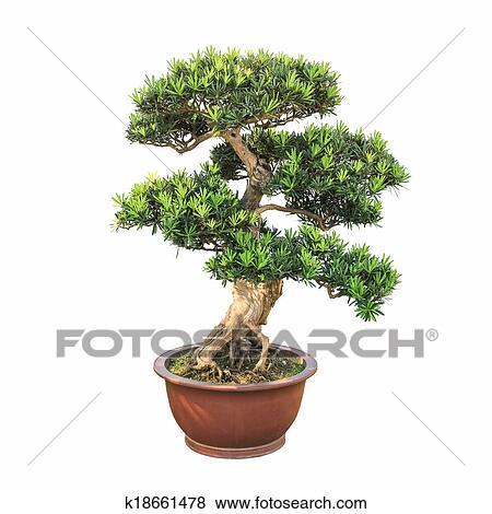 Images bonsai orme arbre k18661478 recherchez des - Bonsai arbre prix ...