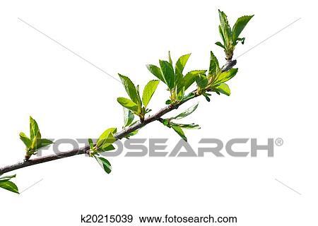 叶, 在中, 樱桃树, 分支图片