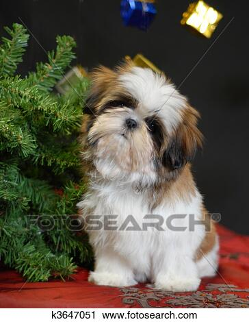 Stock Photography of christmas puppy k3647051 - Search Stock Photos, Pictures, Prints, Images ...