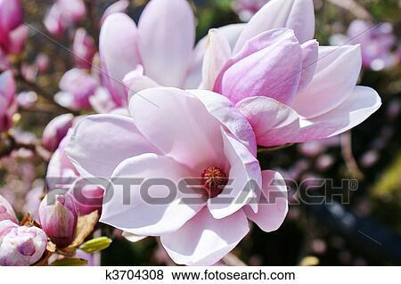 Immagini magnolia k3704308 cerca archivi fotografici for Magnolia pianta prezzi
