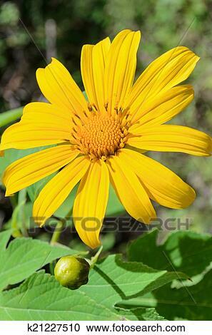 Banques de photographies mexicain tournesol mauvaise - Mauvaise herbe fleur jaune ...