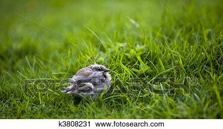 苍头燕雀, 刚会飞的小鸟, Fringilla, coelebs k3808231 k3808231
