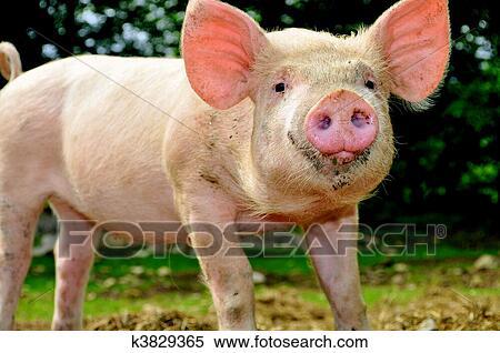 Banque d 39 image mignon jeune porcelet k3829365 recherchez des photos des images des - Image de cochon mignon ...