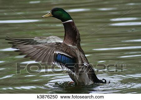Stock photography of mallard ballet k3876250 search for Duck pond mural