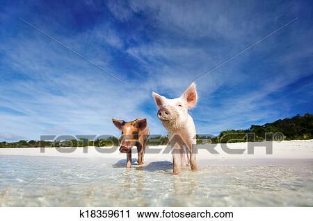 免版税(rf)类图片 - 游泳, 猪, 在中, exuma.图片