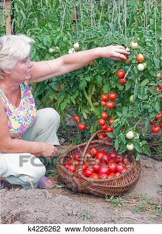 banque de photo femme reaps a r colte de tomates k4226262 recherchez des images des. Black Bedroom Furniture Sets. Home Design Ideas