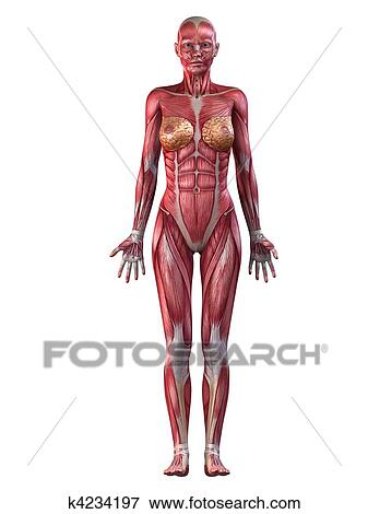Stock Illustration Of Female Muscular System K4234197 Search Eps