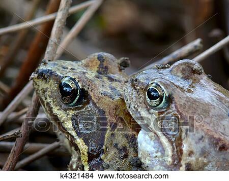 Two Frogs in Love Stock Photo Two Frogs