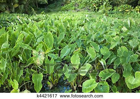 Picture of taro plants growing in a field k4421617 ...