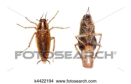 banque de photo insecte cafard k4422194 recherchez des images des photographies et des. Black Bedroom Furniture Sets. Home Design Ideas