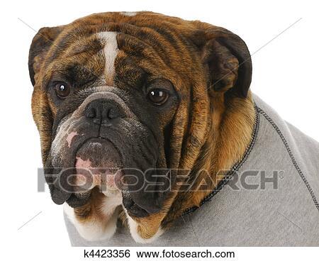 stock bilder englische bulldogge k4423356 suche. Black Bedroom Furniture Sets. Home Design Ideas
