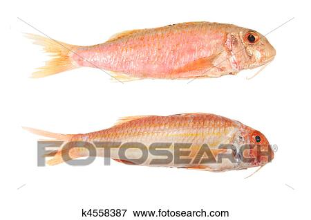 Picture of two red mullet fish k4558387 search stock for Red mullet fish