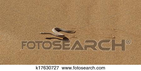 Picture of Young dune adder or sidewinder snake with trail ...