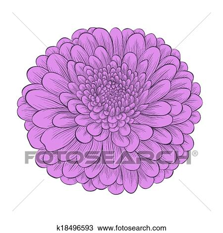 clipart of beautiful flower chrysanthemum isolated on white rh fotosearch com chrysanthemum mouse clip art chrysanthemum clip art black white