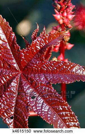 Banques de photographies feuille rouge de huile de for Plante feuille rouge
