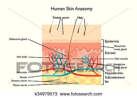 anatomy skin project Human anatomy skin model project - duration: 4:33 chandler cliette 2,733 views 4:33 the skin model - duration: 5:24 kasey galbraith 16,737 views 5:24.