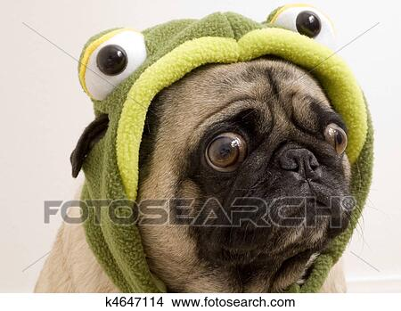 Pug Dressed up Pug Dressed up as Turtle