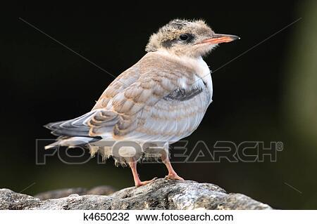 Banque de photo oiseau b b de commun tern k4650232 for Oiseau commun