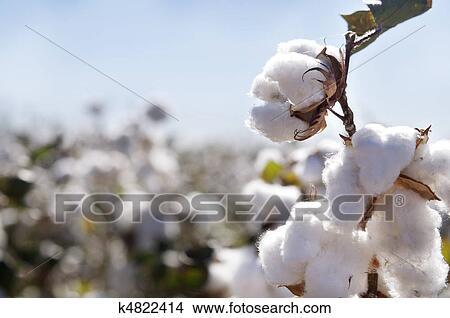 Banque de photo m re graines coton sur branche - Branche de coton ...