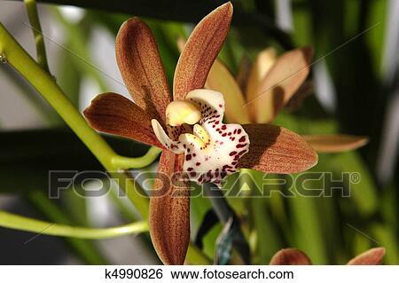 banque d 39 images orchid e cymbidium calliope fleur k4990826 recherchez des photos des. Black Bedroom Furniture Sets. Home Design Ideas