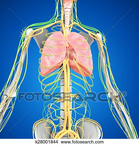 手绘图 - 肺, 带, 心