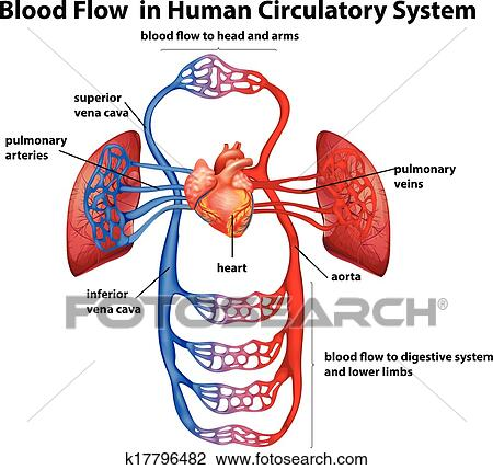 Clipart Of Blood Flow In Human Circulatory System K17796482 Search