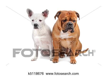 Image Old English Bulldog Old English Bulldog