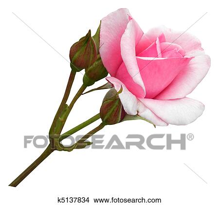 Pictures of woman biting on rose stem k0348458 - Search Stock ...