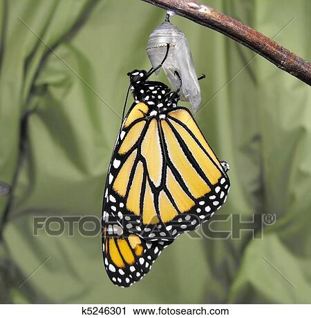 Butterfly chrysalis clipart
