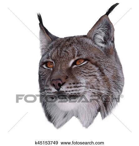 创意摄影图片库 - 山猫, 关闭, 头, 隔离, 在怀特上