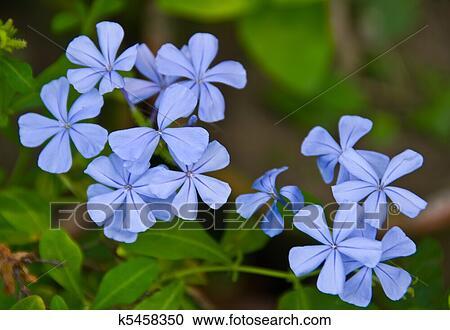 banques de photographies vervain bleu princesse verveine fleur k5458350 recherchez des. Black Bedroom Furniture Sets. Home Design Ideas