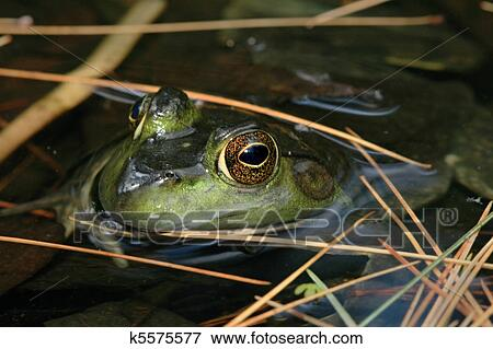 青蛙, 在中, 池塘