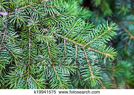 图片银行 - 常绿植物, 针叶树, 分支图片