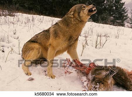 狼是几级保护动物
