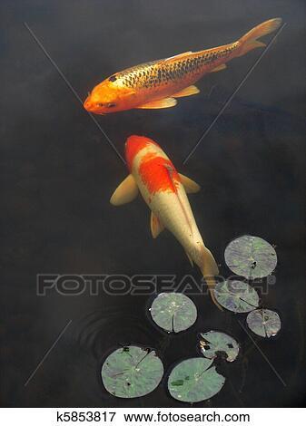 Image koi poisson rouge k5853817 recherchez des for Poisson rouge koi aquarium