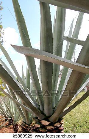 stock bild agave kaktus tequilana pflanze f r mexikanisch tequila k5889925 suche. Black Bedroom Furniture Sets. Home Design Ideas