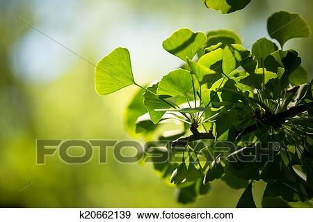 创意摄影图片库 - 银杏biloba, 树枝, 带, 叶子图片