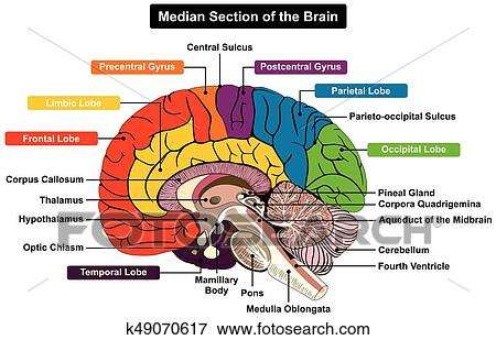 Clip Art Of Median Section Of Human Brain Diagram K49070617 Search