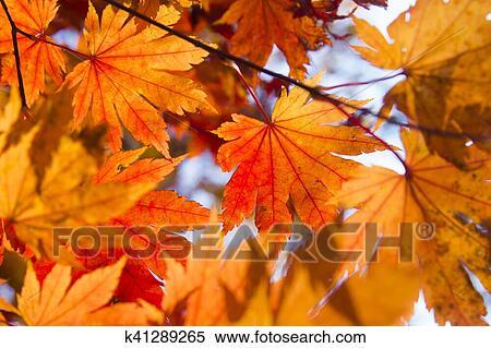 背景 壁纸 枫叶 红枫 绿色 绿叶 树 树叶 植物 桌面 450_319图片